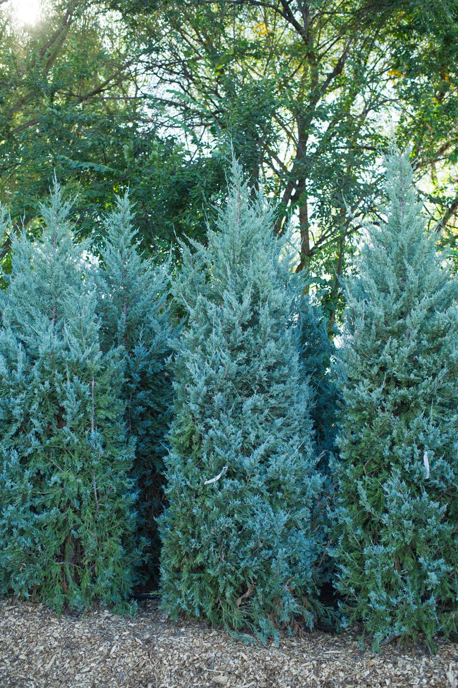 Juniperus scopulorum Wichita Blue