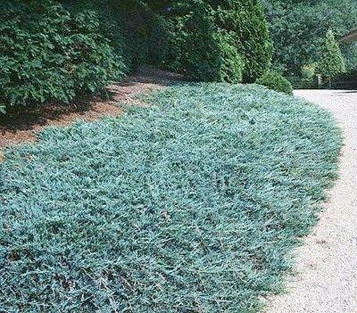 Juniperus h. 'Wiltonii' (Blue Rug)