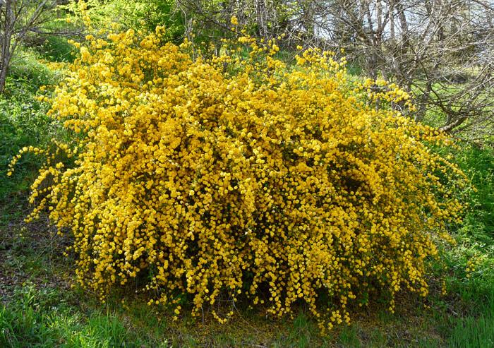 Kerria jap. 'Pleniflora'