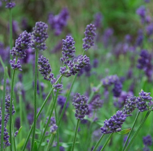 Lavandula interm. 'Provence'