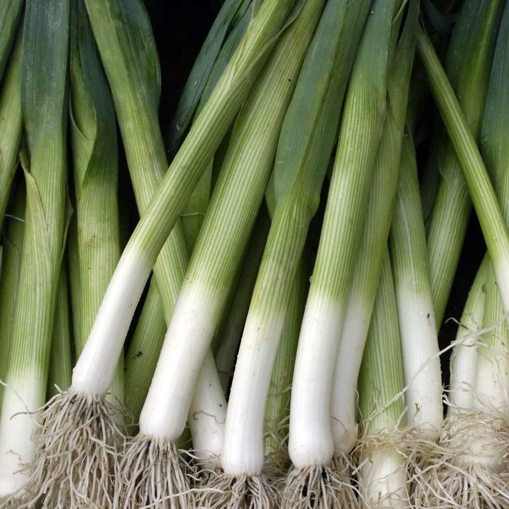 Leek - Allium porrum 'King Richard'