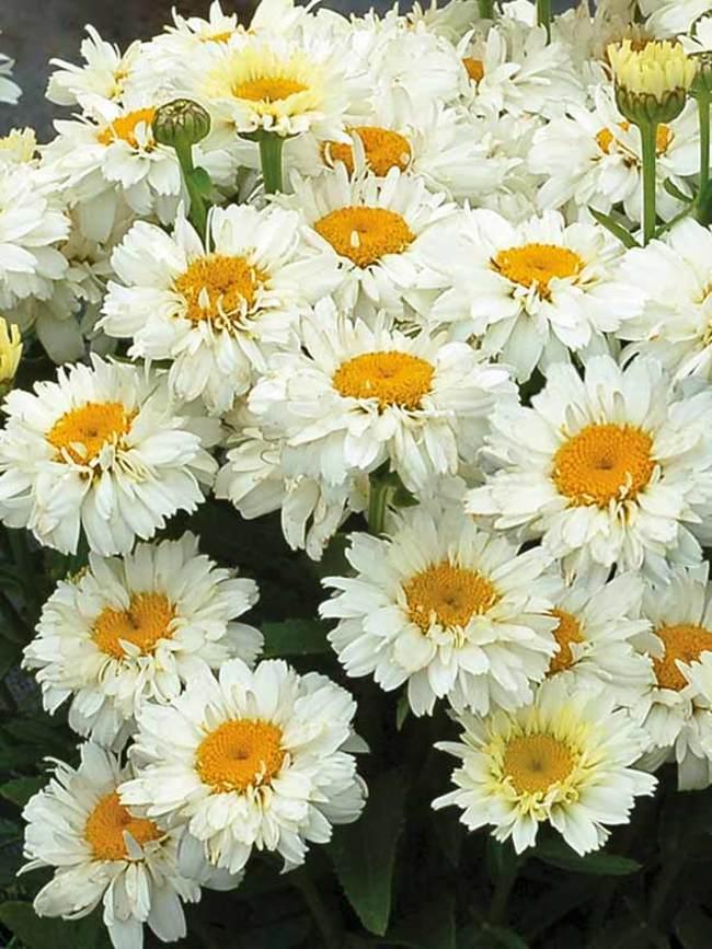 Leucanthemum 'Adorable'