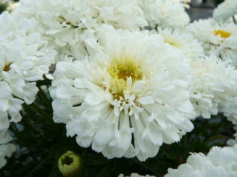 Leucanthemum 'Real Snowball'