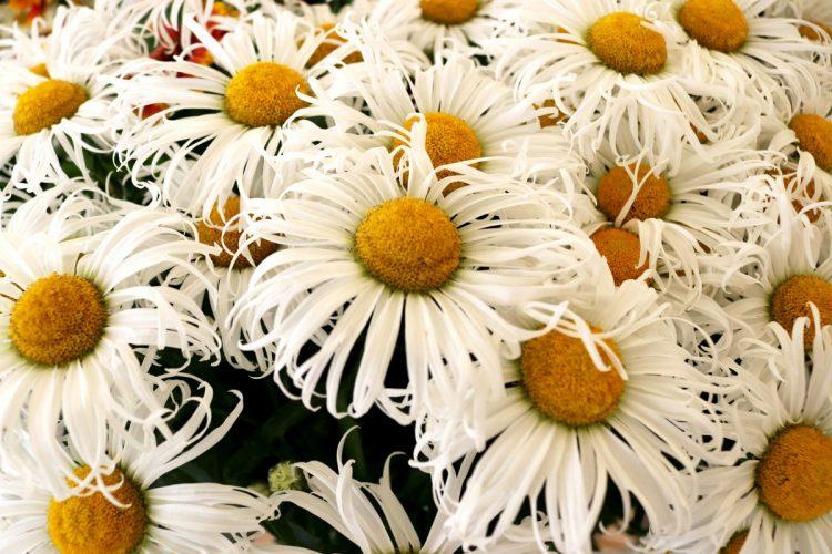 Leucanthemum Sweet Daisy 'Cher'