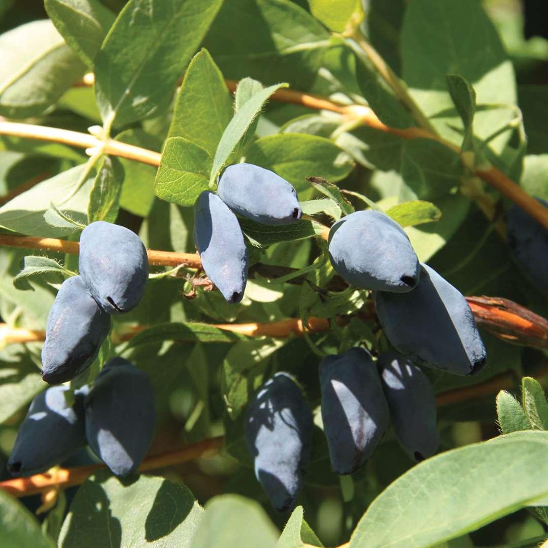 Lonicera Yezberry 'Maxie'