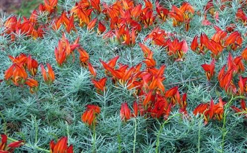 Lotus Scarlet