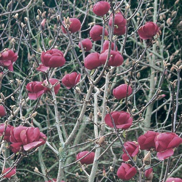 Magnolia x soulangeana 'Black Tulip'