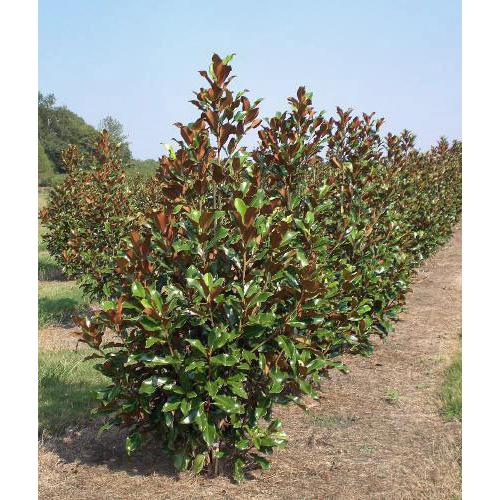Magnolia gr. Bracken's Brown Beauty