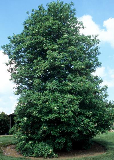 Magnolia v. 'Green Shadow'