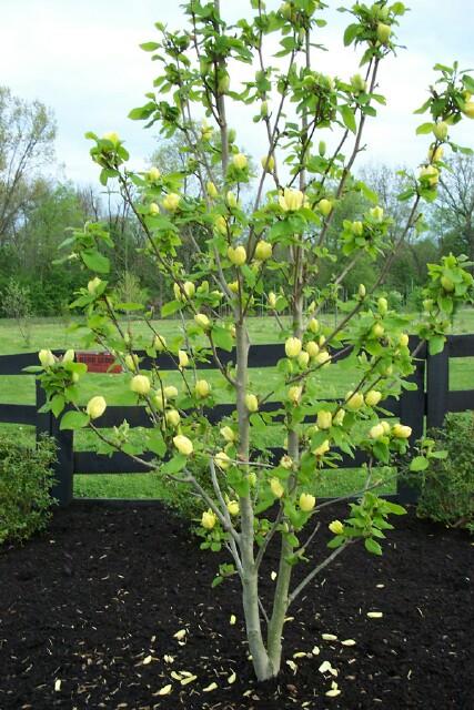 Magnolia 'Yellowbird'