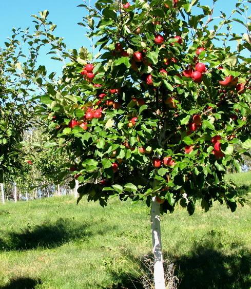 Apple - Malus 'Honeycrisp'