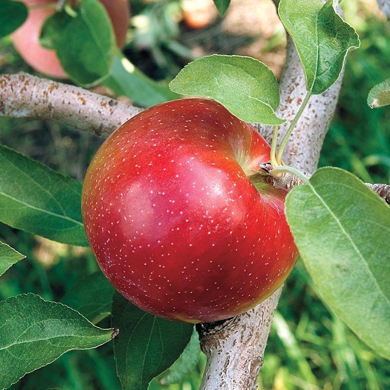 Apple - Malus 'Liberty'