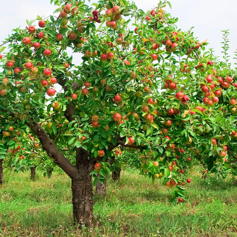 Apple - Malus 'Royal Gala'