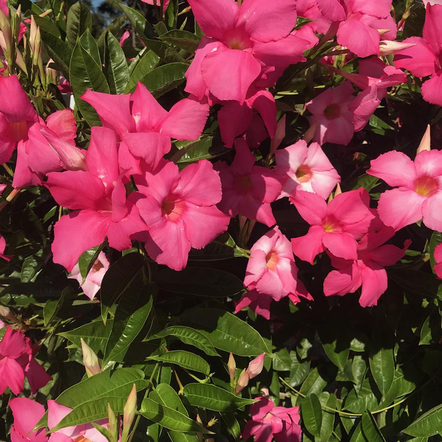 Mandevilla Giant Dark Pink