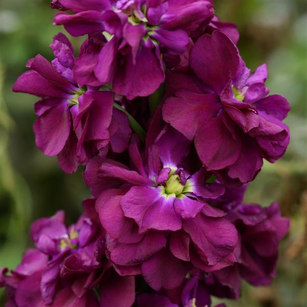 Matthiola Mime Purple
