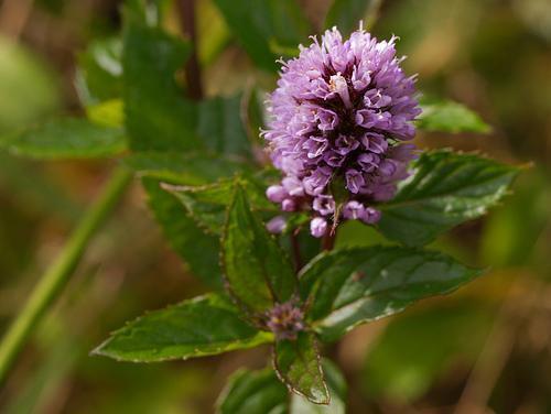 Herb - Mentha piperata