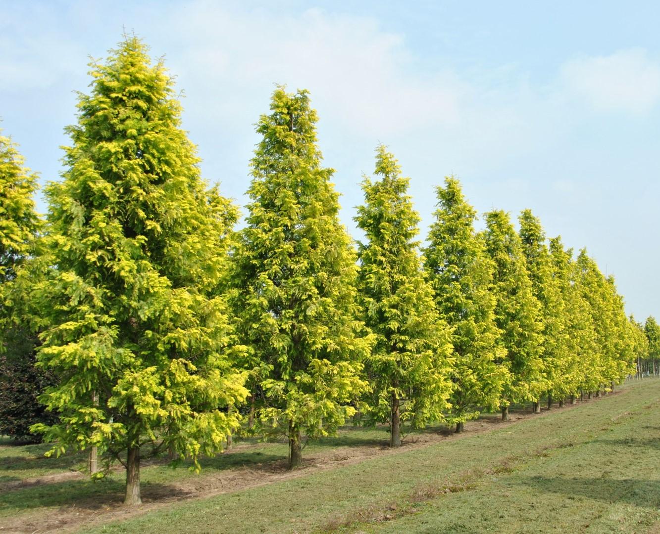 Metasequoia glyp. 'Gold Rush'