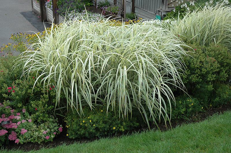 Grass - Miscanthus s. 'Variegatus