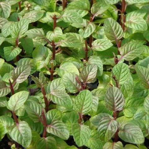 Mint - Mentha spicata 'Berries and Cream'