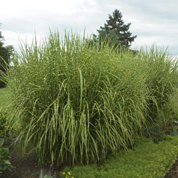 Grass - Miscanthus sinensis 'Strictus'