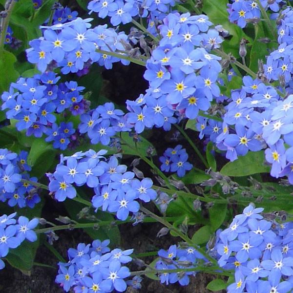 Myosotis sylvatica 'Bluesylva'