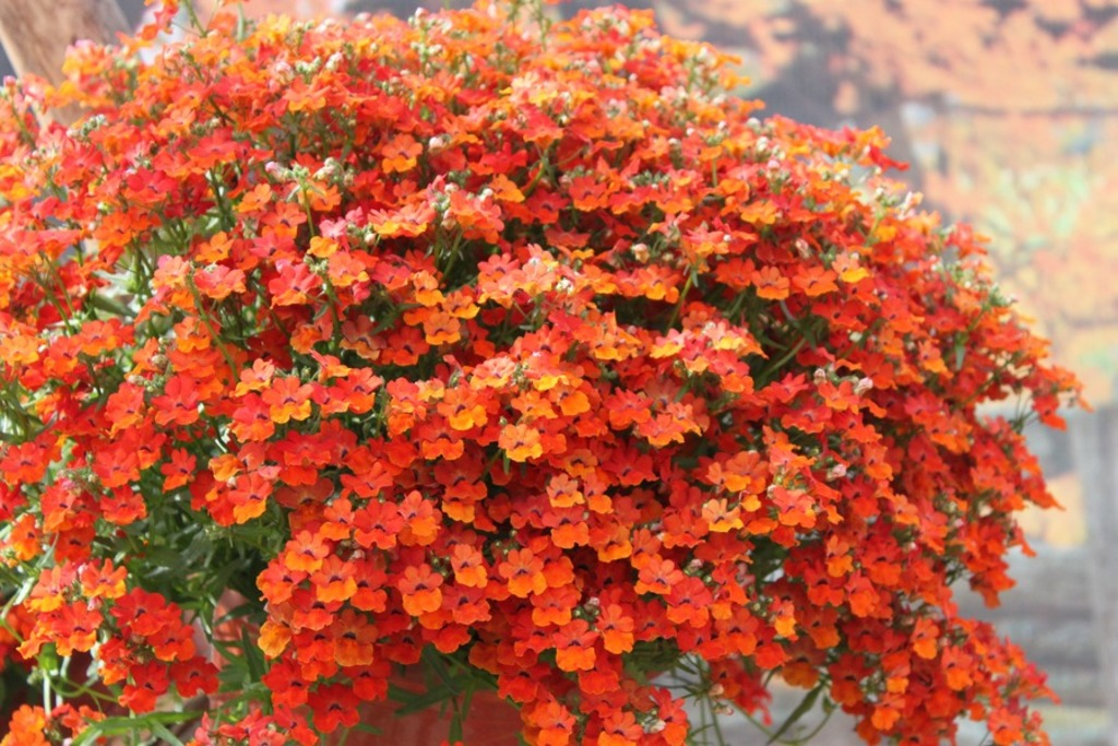 Nemesia Angelart Orange