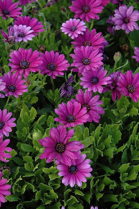 Osteospermum Akila Purple
