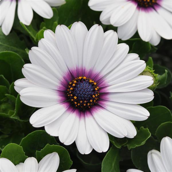Osteospermum Akila White Purple Eye