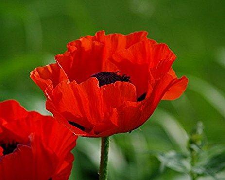 Papaver orientale 'Crimson Red'