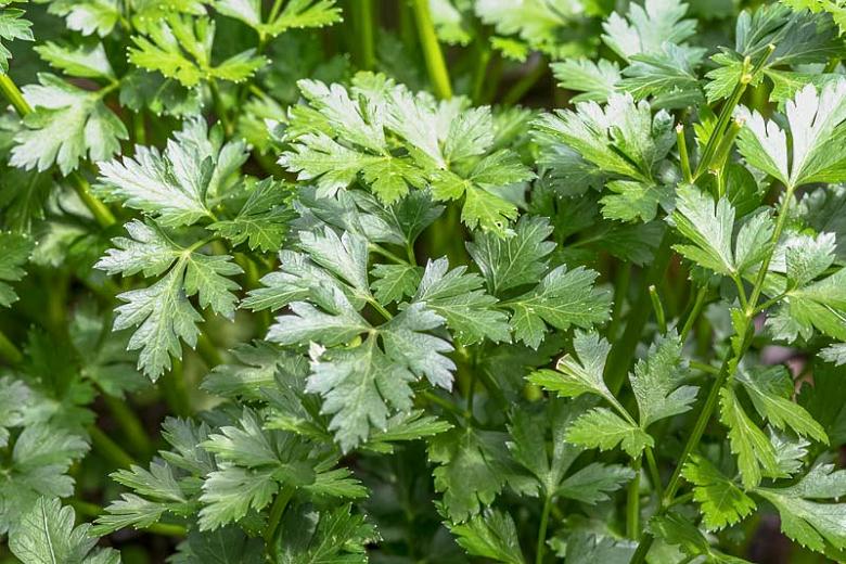Parsley - Petroselinum crispum 'Flat'