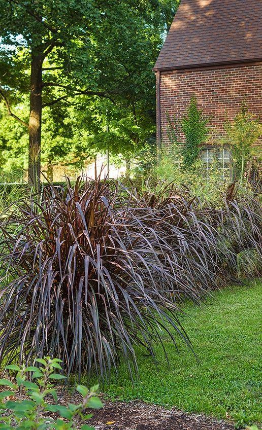 Grass - Pennisetum p.'Vertigo'