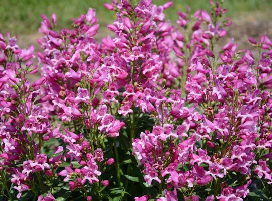 Penstemon Rock Candy Pink