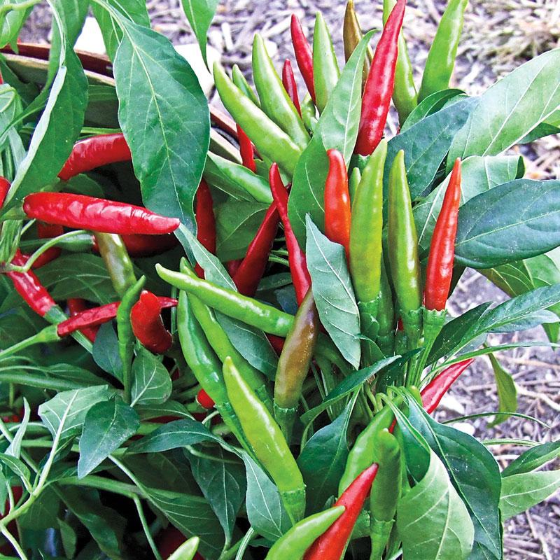 Pepper Thai Hot