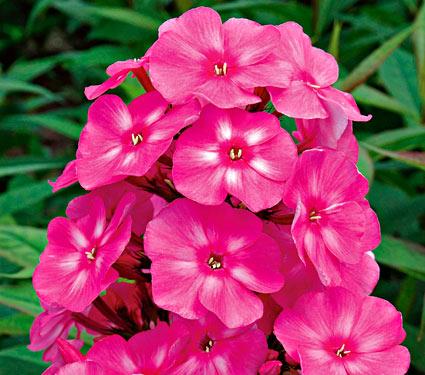 Phlox pan. 'Bubblegum Pink'