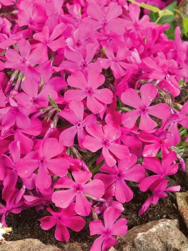 Phlox subulata 'Drummon's Pink'