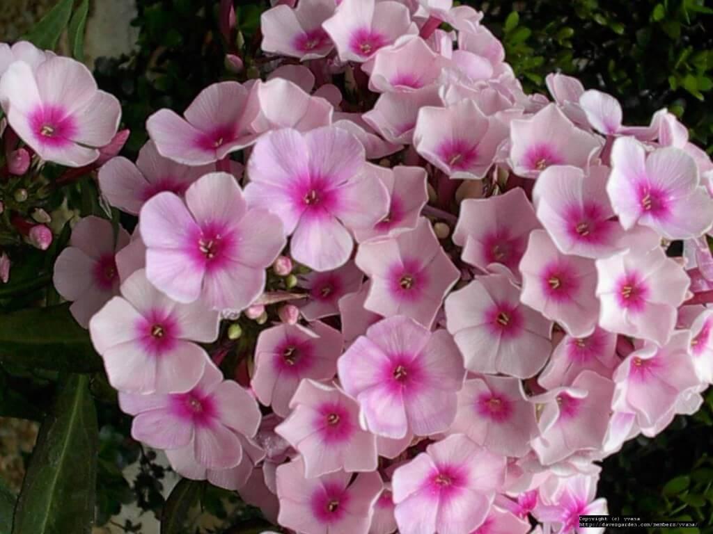 Phlox pan. Sweet Summer 'Pink Wink'