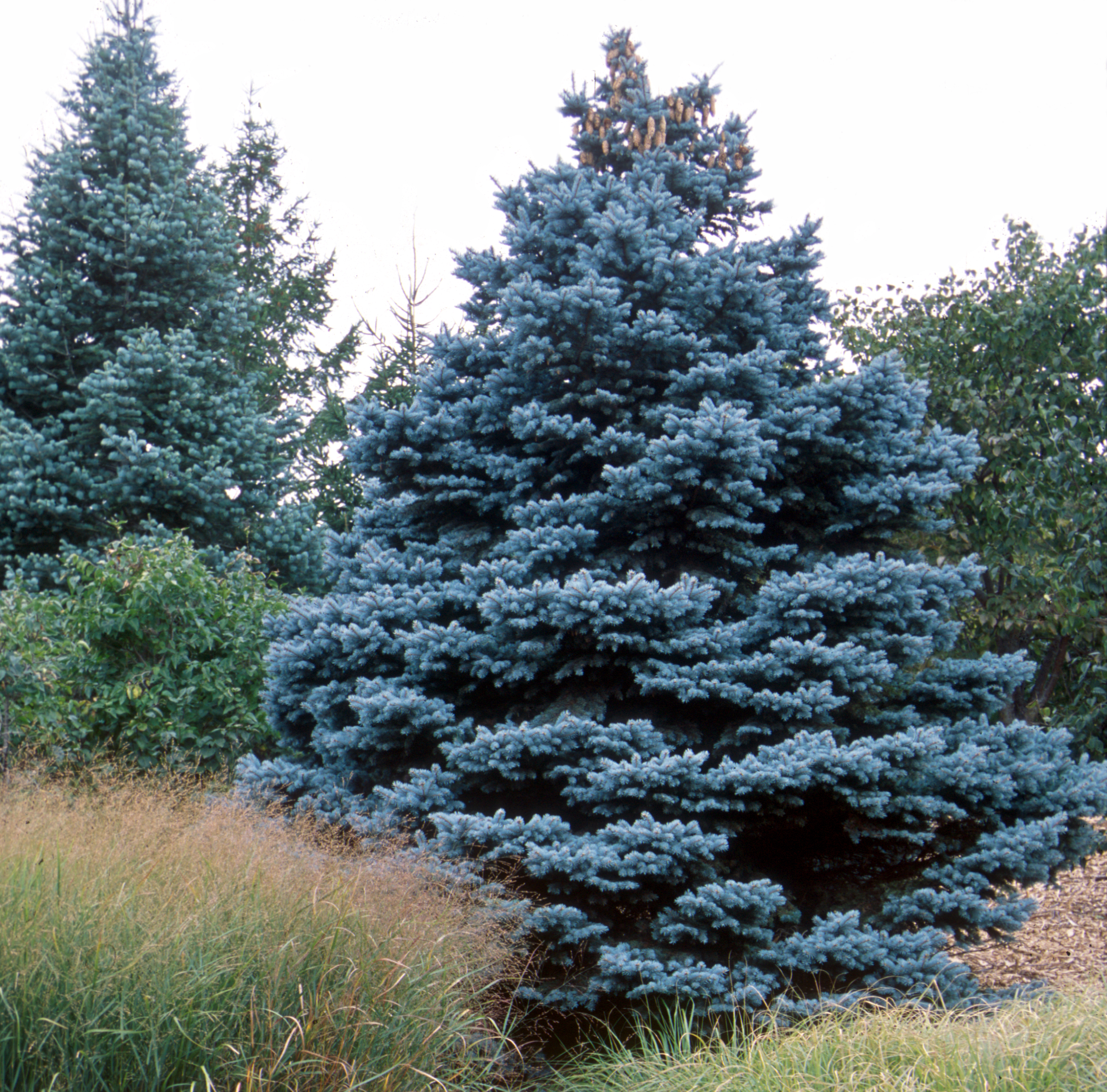 Picea pungens glauca 'Baby Blue '