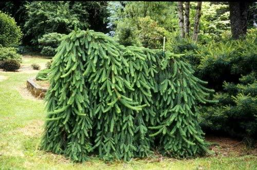 Picea abies 'Pendula'