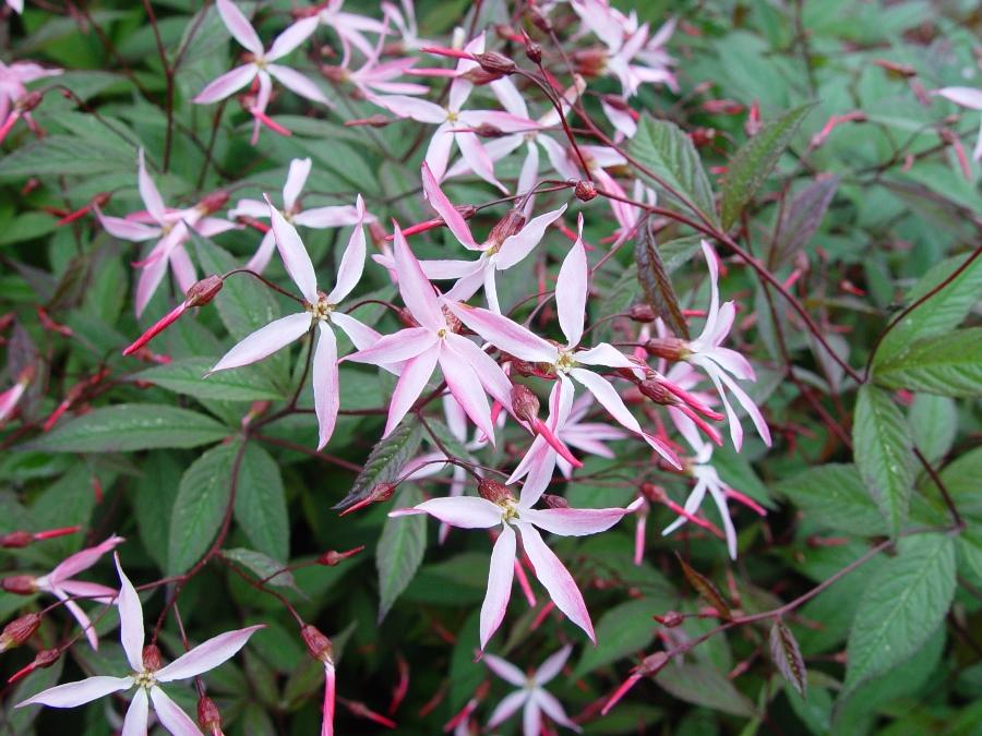 Porteranthus 'Pink Profusion' (Gillenia)