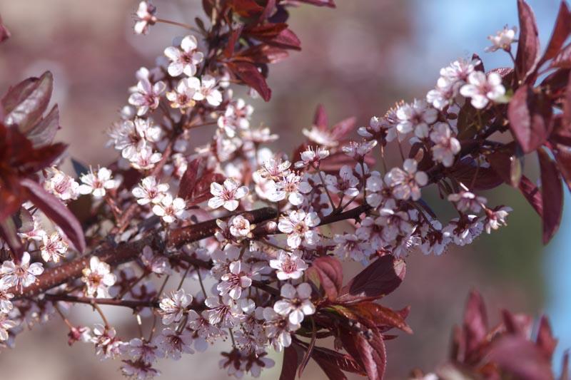 Prunus cerasifera 'Newport'