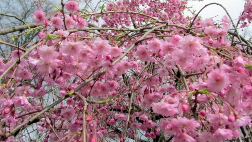 Prunus sub Pendula 'Plena Rosa'