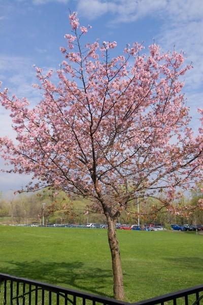 Prunus sargentii 'Spring Wonder'