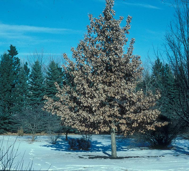 Quercus x b. 'Prairie Stature'