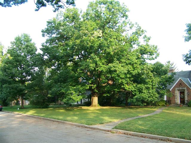 Quercus prinus