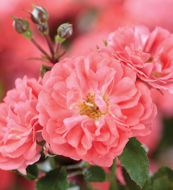 Rosa 'Coral Drift'