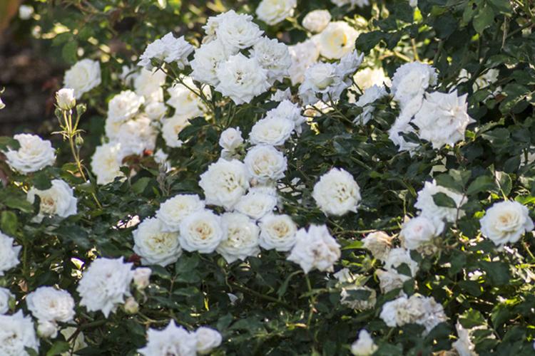 Rosa 'White Drift'