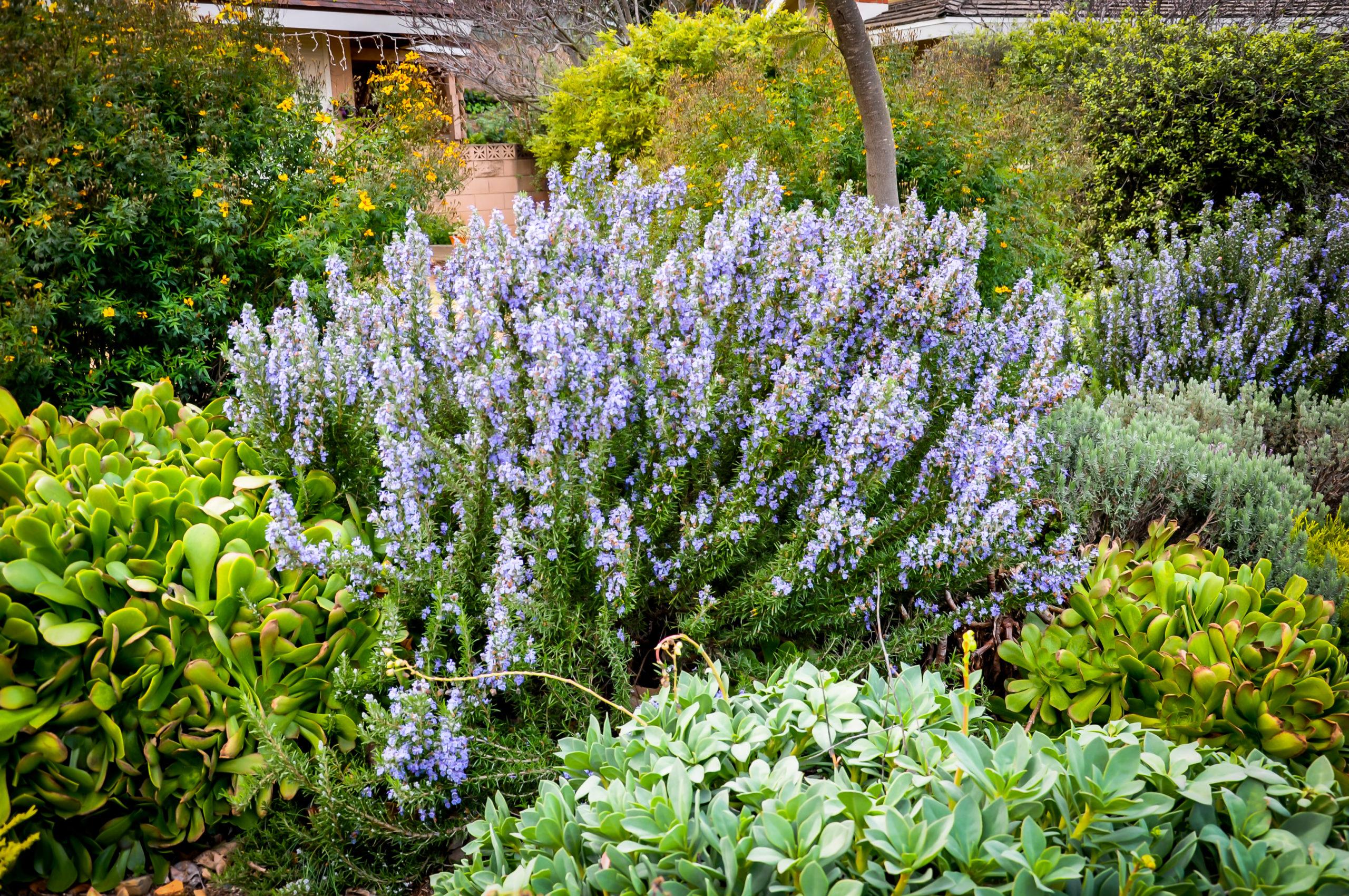 Rosemary - Rosmarinus officinalis 'Tuscan Blue'