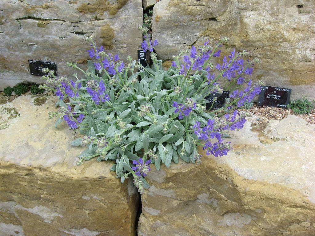 Salvia daghastanica