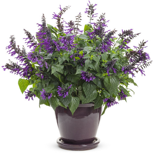 Salvia Deep Purple