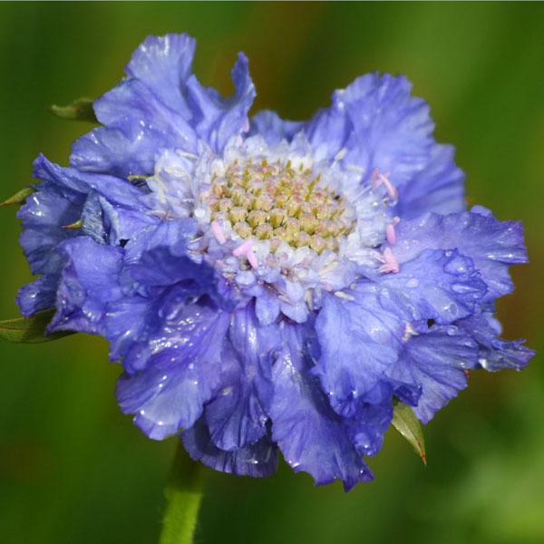 Scabiosa col. 'Flutter Deep Blue'